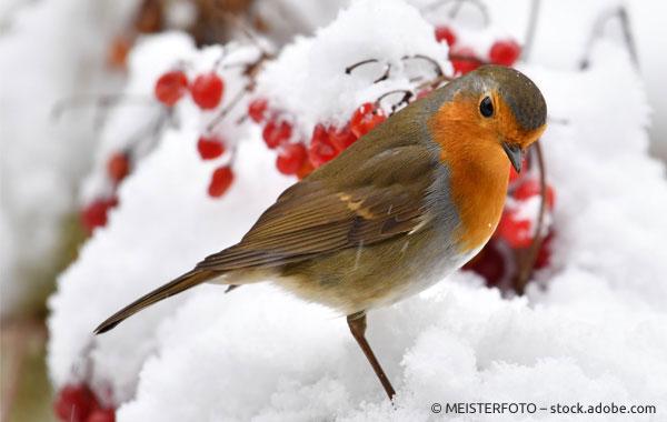 Rotkehlchen Weihnachten